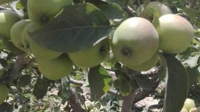 Photo of خدمة ورعاية شجرة التفاح في الشتاء .. خطوات مهمة لمحصول جيد