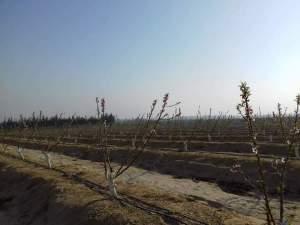 رعاية شجرة التفاح شتاء من اهم عوامل الحصول علي محصول جيد