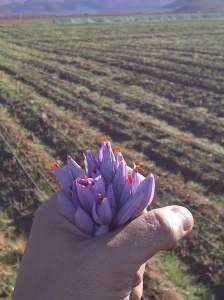زراعة الزعفران في مصر ليس مستحيلاً