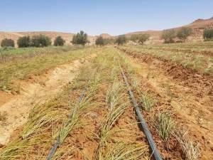 زراعة الزعفران علي مصاطب