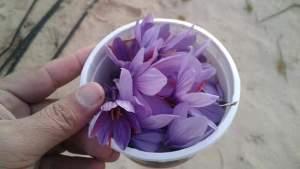 يتم الحصول علي الزعفران الخالص من مياسم الأزهار