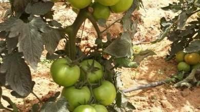 اهم الزراعات المربحه في مصر