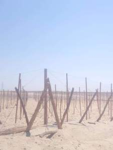 زراعة العنب فى الاراضى الصحراوية