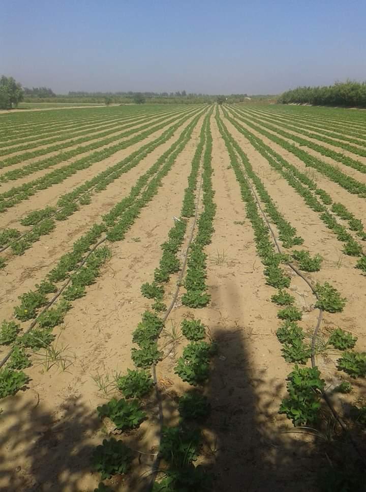 كيفية زراعة الفول السوداني .. مع برنامج الري والتسميد