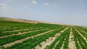 زراعة الفول السوداني