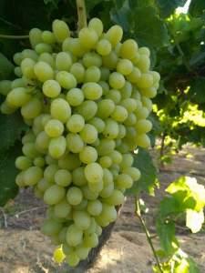 رش العنب بالكبريت في مرحلة معينة يساعد علي التأخير في نضج الثمار