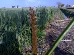 مرض التفحم السائب في القمح