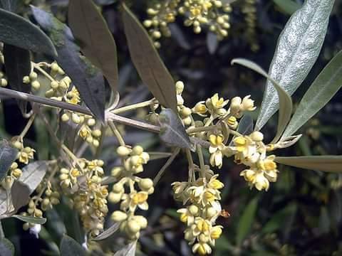 اسباب وعلاج تساقط ازهار الزيتون .. تقرير شامل