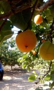 ما الفرق بين ذبابة الفاكهة وذبابة الخوخ ؟
