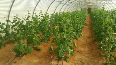 Photo of توصيات مهمة في طرق مكافحة اضرار وتأثير درجة الحرارة على النباتات في الزراعات المحمية