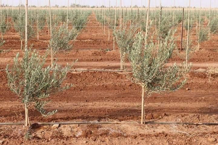 دراسة جدوي زراعة الزيتون في مصر في الاراضي الصحراوية