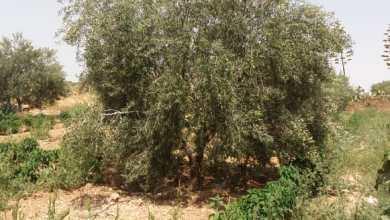 """Photo of كل ما تريد معرفته عن زراعة الزيتون واصنافه """"ملف شامل"""""""
