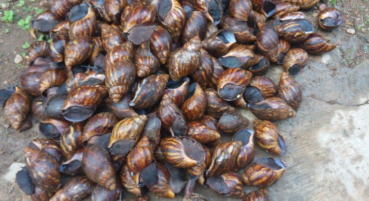 snail farming in Nigeria
