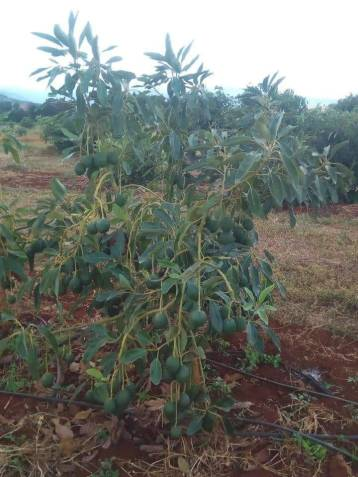 hass avocado farming in Nigeria