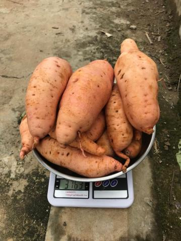 Orange Fleshed Sweet Potato in Nigeria
