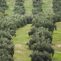 Cubiertas vegetales en el olivar