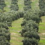 Rescate al olivar