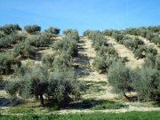 olivares con suelo de hierva