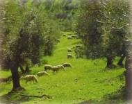olivas ecológicas con ovejas pastando
