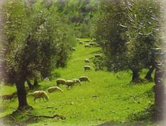 olivar ecológico con ovejas pastando