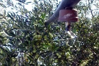 riego del olivar
