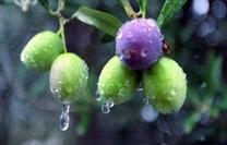 lluvia en el olivar