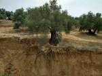 La fertilidad del suelo del olivar