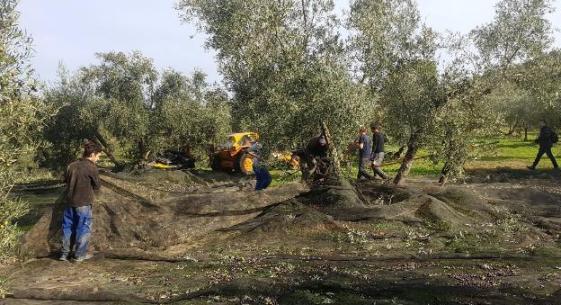 agricultores recolectando aceituna subvencionada con la PAC