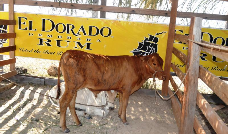 Calf on display at the Rupununi Expo