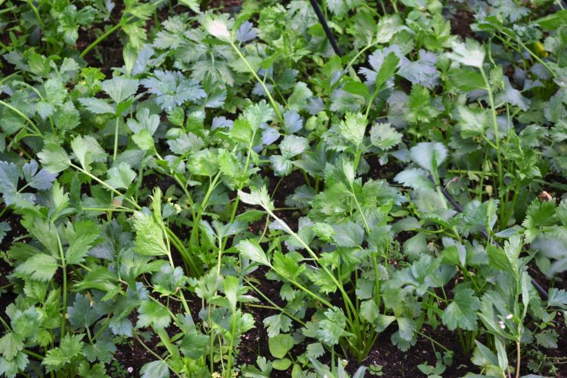 Celery growing in the NAREI kitchen garden