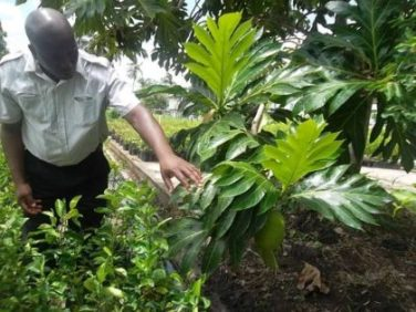 Permanent Secretary of the Ministry of Agriculture George Jervis finds a breadfruit during his visit to the National Agricultural Research and Extension Institute (NAREI)