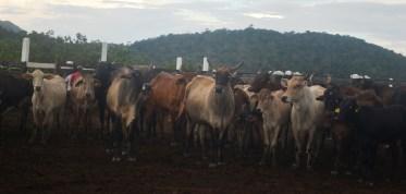 cattle-at-annai-farm-in-region-9