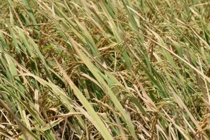 Aromatic rice, during cultivation at the Guyana Rice Development Board (GRDB) Research Station, Burma, Region Five
