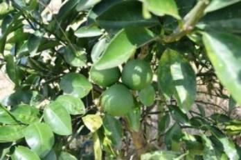 Lemons-from-NAREIs-pilot-orchard-at-Ebini