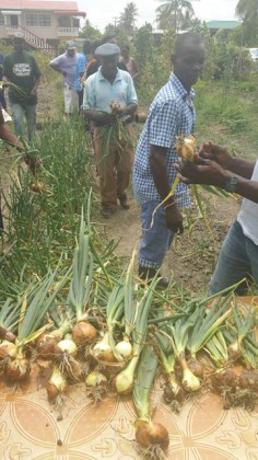 Onion harvest in Hope Town last year