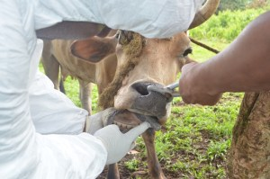 Checking for symptoms of disease in cattle on the quarantined farm and taking samples for laboratory investigations.