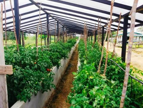 Tomato cultivation at GSA