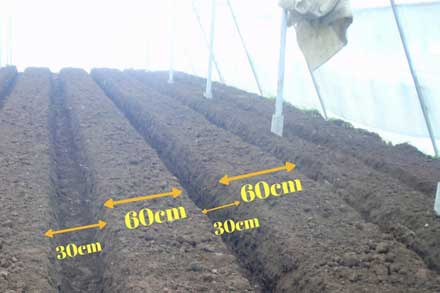 gerbera cultivation bed
