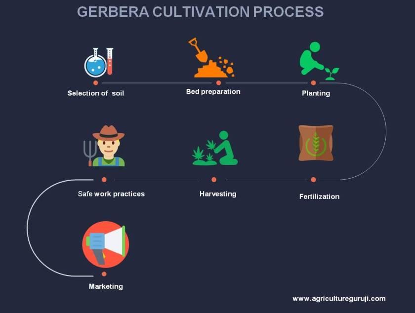 gerbera cultivation process