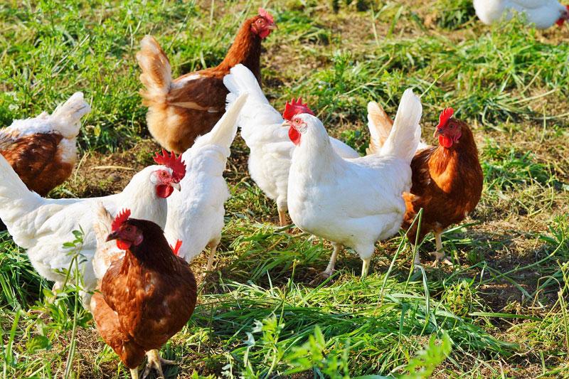 Poultry Farming at backyard