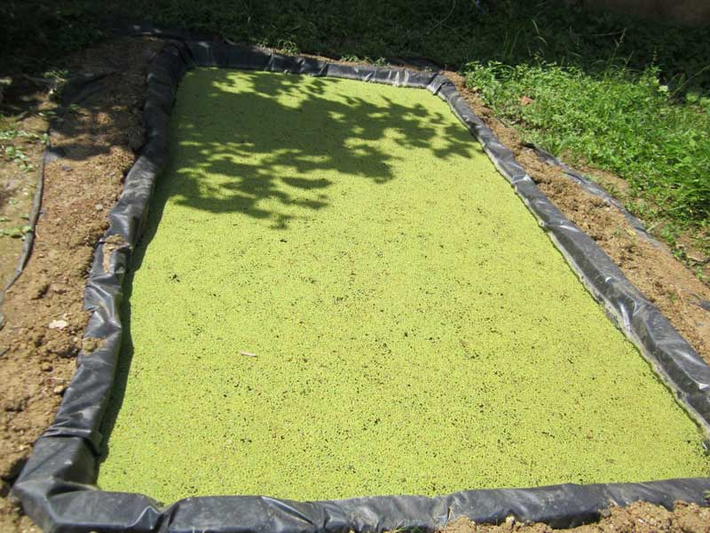 Azolla Cultivation Guide ( Rich proteins feed for cattle, poultry, fish and pig) 1