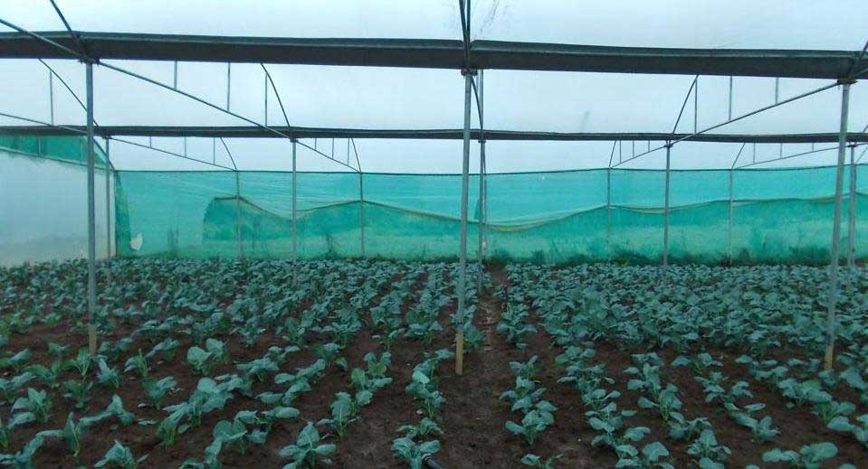 Broccoli Farming in greenhouse