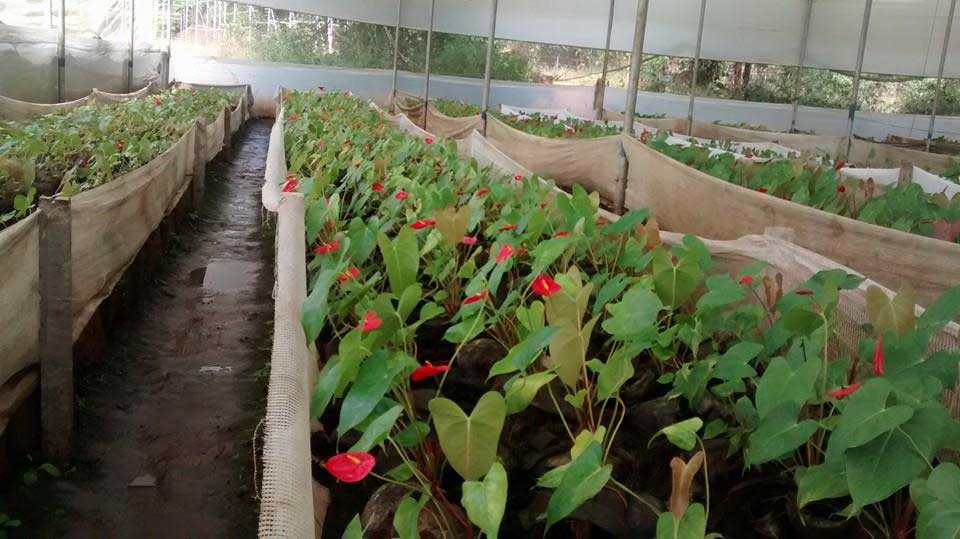 Anthurium crop