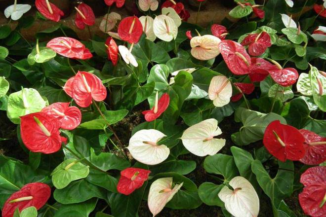 Anthurium crop