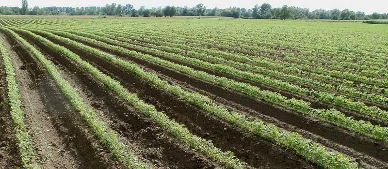 Carrot-farming-fields