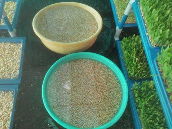 Hydroponic fodder seed