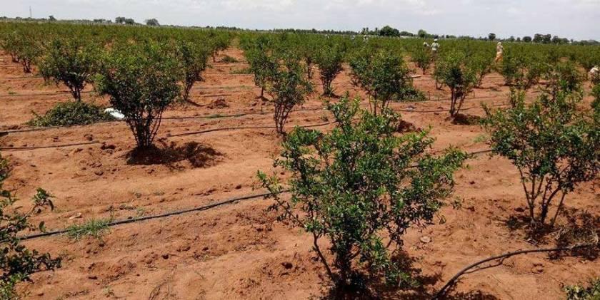 Pomegranate plantation