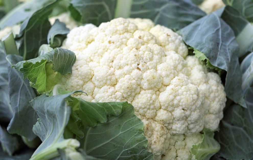 cauliflower cultivation