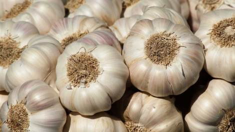garlic farming