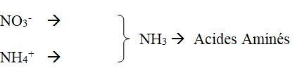 l'azote est principalement absorbé sous forme de NO3-.